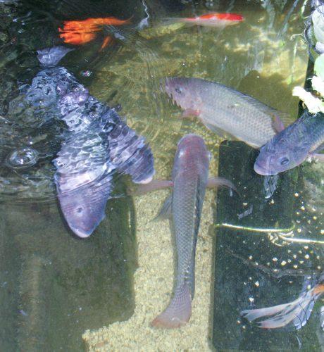 Tilapia fish in 100 gallon tank of the Home Version of Farm Fountain