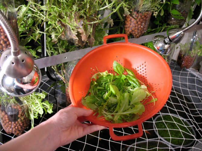 Harvesting salad from the Home Version of Farm Fountain