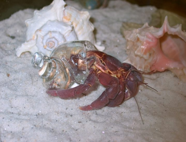 One of the crabs selected a glass shell, over the option of the natural shells available.