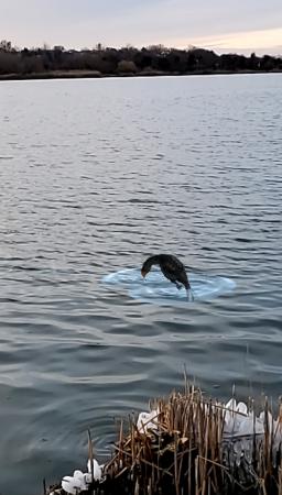 Augmented reality cormorant